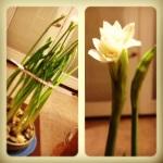 flowering paperwhites